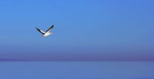 Pelican. Flying over Salton Sea (Southern California Royalty Free Stock Image