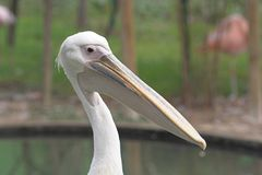 Pelican. Close-up white pelican head at the zoo Stock Photo