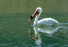 Pelican. Swimming and fishing in the Snake River, Idaho Royalty Free Stock Photography