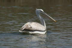 Pelican. A pelican swimming at lake Kerkini (Greece royalty free stock photography