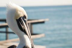 Free Pelican Stock Image - 17745991