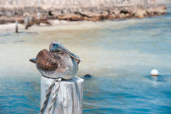 Pelican Royalty Free Stock Image