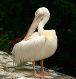 Pelican. At the zoo of Mechelen stock images