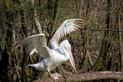 Pelican. White pelican in a lake Stock Photo