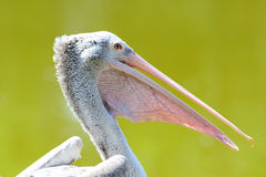 Free Pelican Stock Photography - 19701852