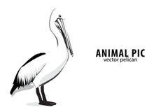 Free Pelican Royalty Free Stock Photos - 19730478