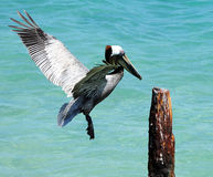 Pelican. On the island of the Dry Tortugas, off Key West Royalty Free Stock Photo
