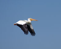 Pelican. A pelican in Colorado flying against a blue sky in summer Royalty Free Stock Photos