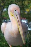 Pelican-2 Imágenes de archivo libres de regalías