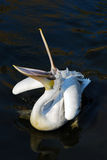 Pelican. In  water with its mouth open Royalty Free Stock Photos