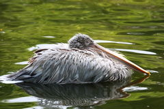 Pelican Stock Images