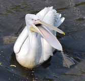Pelican. In  water with its mouth open Royalty Free Stock Photography