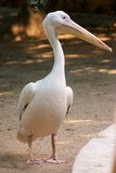 Pelican. A white pelican stock photography