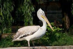 Pelican. In profile Stock Photos