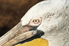 Pelican Royalty Free Stock Images