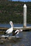 Pelican. Taken at The Entrance, Central Coast, NSW, Australia Stock Image