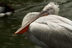 Pelican. Great (Eastern) White Pelican swimming or floating on water.Singapore bird park royalty free stock photography
