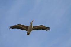 Pelican. Bird on fone of blue sky Stock Image