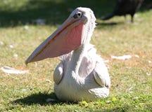 Pelican. A pelican Stock Photos