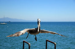 Pelican. Surprised Pelican, Santa Barbara, California, USA Stock Image