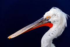 Pelican. Photography of pelicans head close up Stock Images