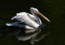 The pelican Royalty Free Stock Images