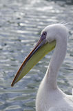 The Pelican Royalty Free Stock Image