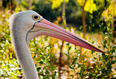 Pelican. A Pelican in his natural habitat Royalty Free Stock Photo