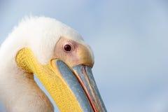 Pelican. Portrait of a Great White Pelican Stock Photo