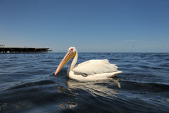 Pelican. Great White Pelican in water Stock Image