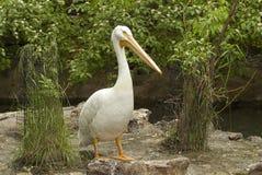 Pelican. Bird on rock at Idaho Falls zoo Royalty Free Stock Image