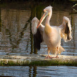 A pelican Stock Photos