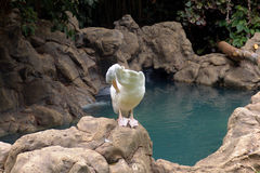 Pelican. At the jungle Royalty Free Stock Photography