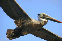 Pelican. In flight stock photo