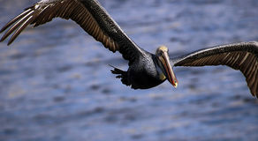 Pelican. Brown pelican stock photo