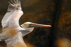 Pelican. White pelican stock photography