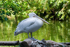 Pelican. The white pelican costs on the bank of a pond Royalty Free Stock Photo