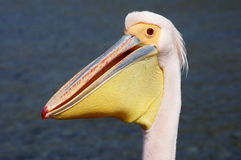 Pelican. On the beach in Greece Stock Photography