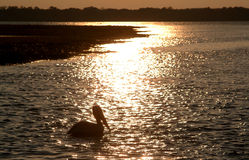Free Pelican Stock Image - 2729111