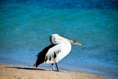 Pelican. Taken at Monkey Mia, Western Australia Stock Image