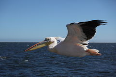 Pelican. Flying in namibia, africa Royalty Free Stock Images