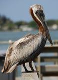 Pelican. Close-up shot of a Pelican. Madeira Beach Florida stock photos