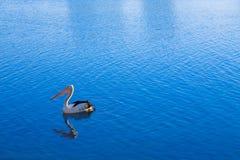 Free Pelican Stock Photo - 2820470