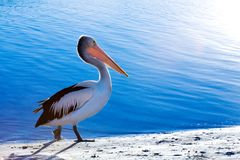 Free Pelican Stock Photo - 2820480