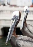 Pelican. Portrait of 2 pelicans shot in portrait Stock Photography