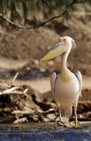 The pelican. Pelican alighted on a wooden dugout. Photo taken in Senegal, west Africa stock images