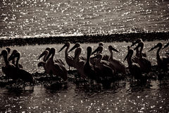 Pelican. A group of pelicans on the sea shore in the morning Stock Images