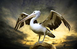Free Pelican Royalty Free Stock Photography - 36526857