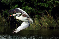 Pelican. A pelican is flying to land on water Stock Image