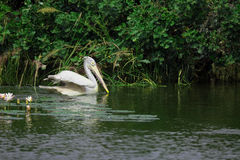 Pelican. Bird swimming in the water Stock Photography